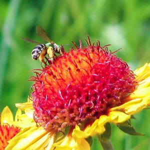 A bee on a blanket flower (Gaillardia) at the PCEI Nature Center