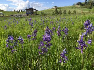 A field of purple camas flowers with the Jim LaFortune Groover and the Artist Studio in the background.