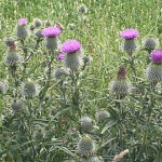 Bull or Spear thistle (Cirsium vulgare)